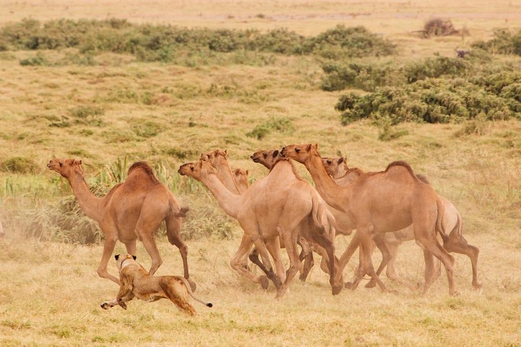 lion hunting camels