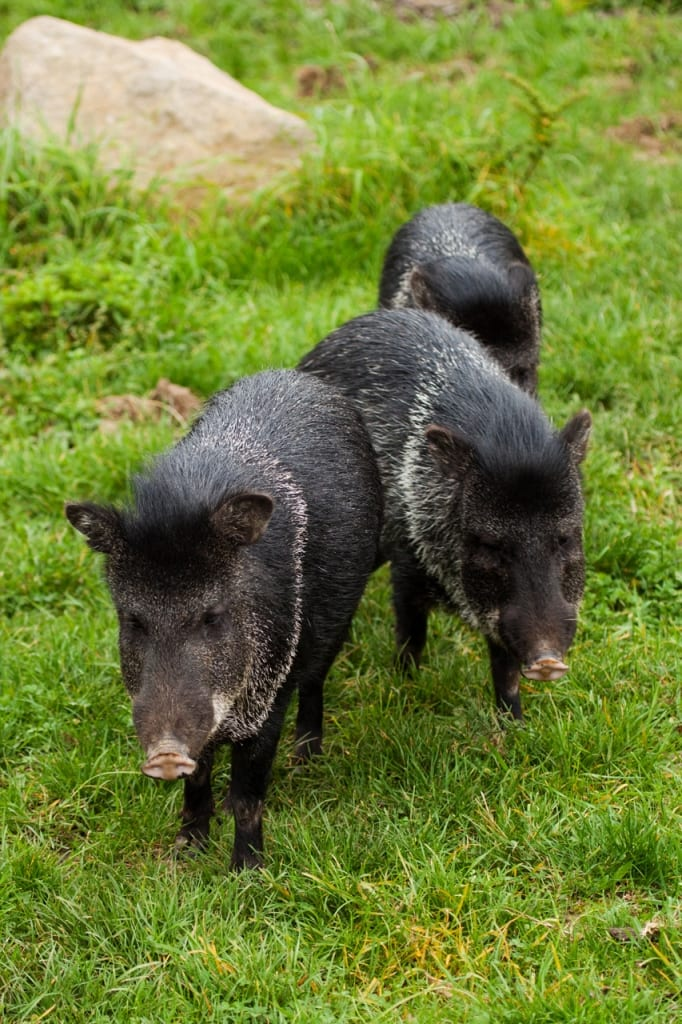 three hogs